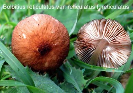 bolbitius_reticuatus_varreticulatus_faleuriatus_1